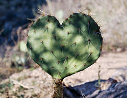 Photo of a heart-shaped cactus. Link to Gifts of Life Insurance.
